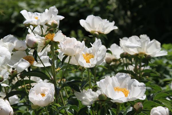 Herbaceous Peony  / Lurie Garden, Millennium Park.