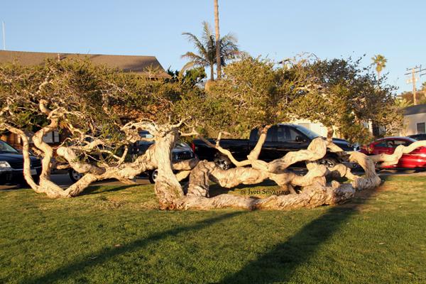 Pink Melaleuca tree at Heisler Park has Heritage status / Laguna Beach, California