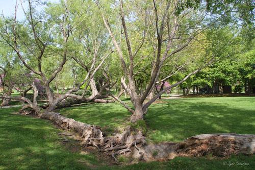 Fallen tree trunk grown into tree