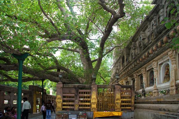 Bodhi Tree, Bodh Gaya.