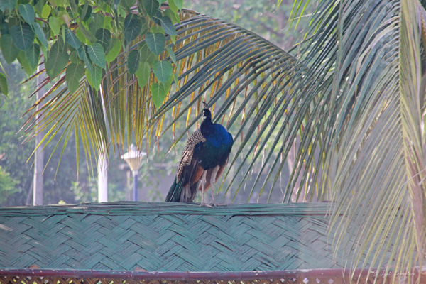 Peacock at Eco Park - Patna/ Bihar