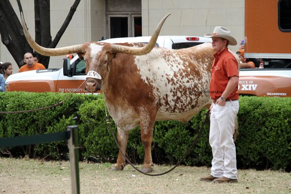 Bevo  Texas Longhorn steer with burnt orange coloring
