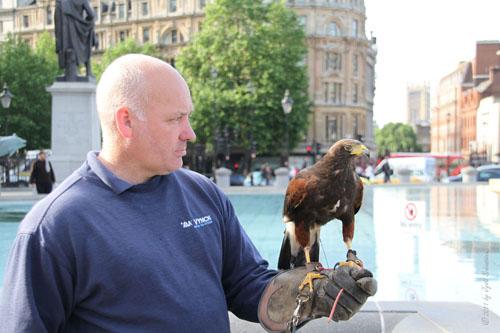 Falconer with Harris Hawk