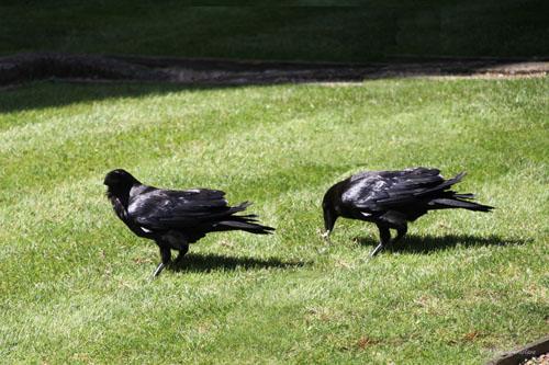 Tower of London - Legend of Ravens