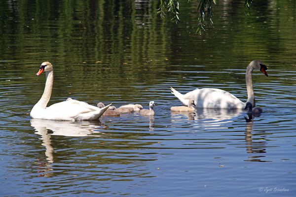 Village of Schaumburg: Swan Program
