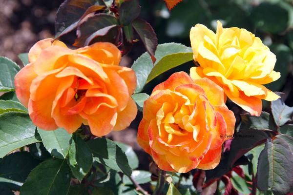 Strike it Rick, Grandilflora / Snnissippi Rose Garden, Rockford.