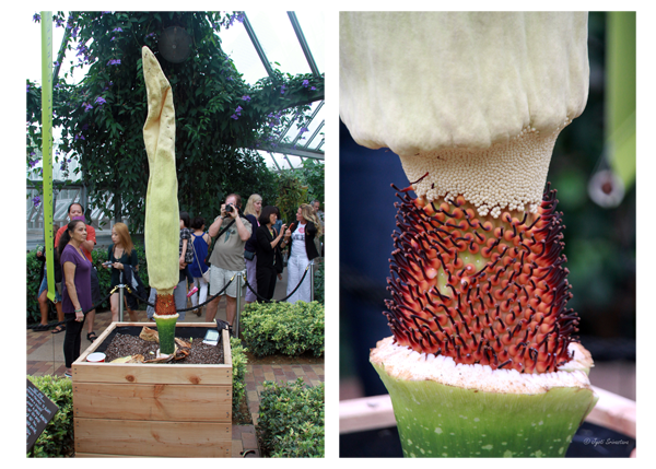 Titan arum - With spathe removed exposes the spandex and the true flowers as the base of spandex.