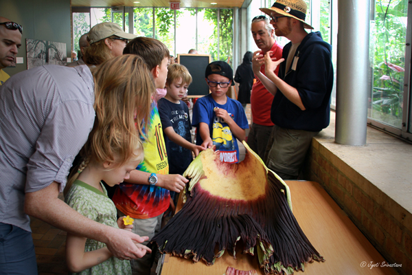 August 30, 2015 - Visitors were allowed to touch and smell the spathe, which was put on display in the conservatory.
