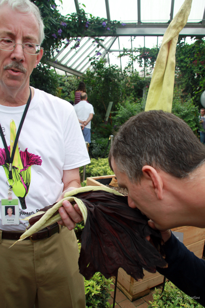 Sunday, August 30, 2015 - Spike was cut open, and spathe put on display. A visitor smelling the spathe.