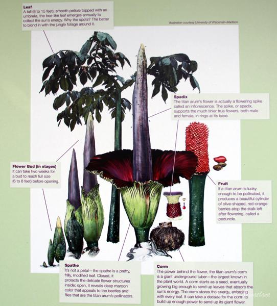 Titan arum - Flower structure