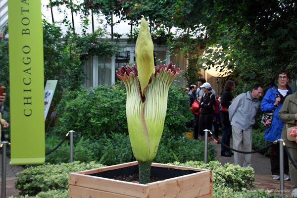 "Corpse Flower ""Alice"" at Chicago Botanic Garden."