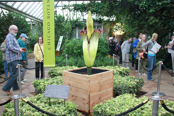 2015 Rare Corpse Flower Dubbed As Alice The Amorphophallus Blooms At Chicago Botanic Garden