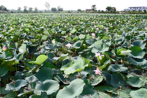 Lotus at Pawapuri Water Temple