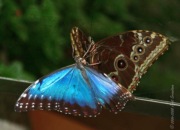 Blue Morpho / Morpho melanus  / Judy Istock Butterfly Haven