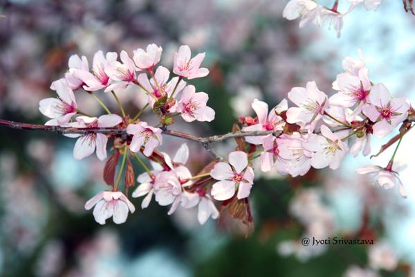 Cherry Blossom / Osaka Garden,  Jackson Park
