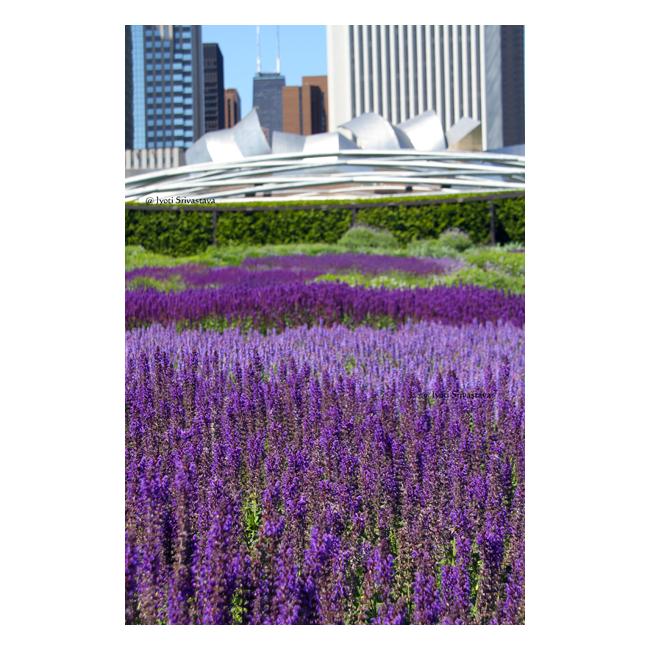Chicago Loop Millennium Park Lurie Garden