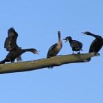Cormorants sitting in a dead tree