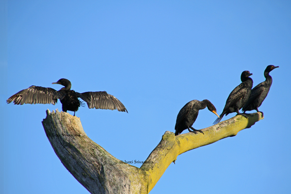 Cormorants sitting in a dead tree