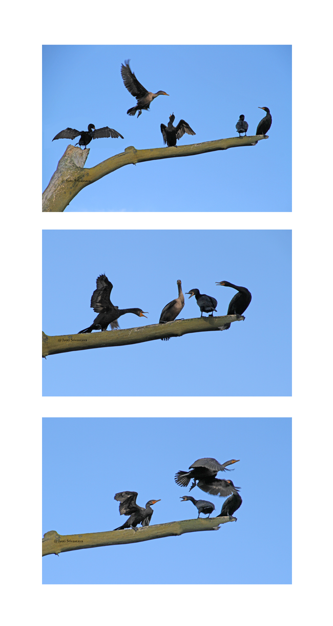 Batavia: Cormorants on a dead tree